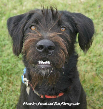 Greyhound Rottweiler Mix Father: schnauzer/rottweiler