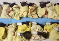Australia Heat Wave bats