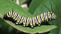 The monarch as a catepillar