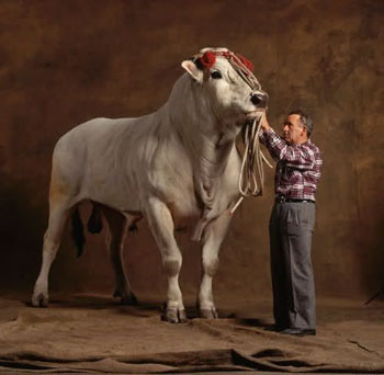 Chianina cow, an Italian breed that is one of the largest and oldest breeds in the world.