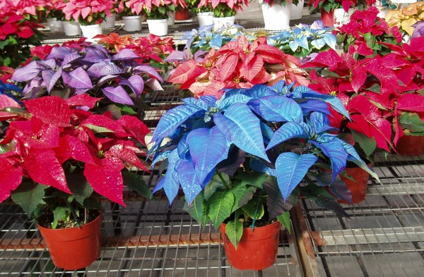 PoinsettiaColored03