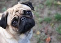 Sad-pug