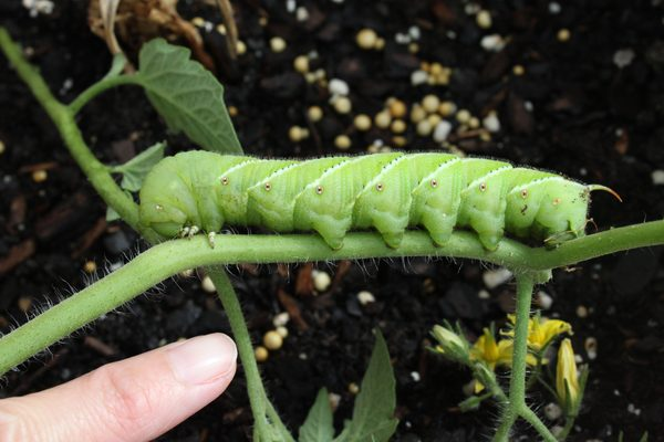 Hornworms are a common garden pest.