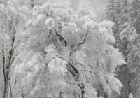 mcallester-snowy-tree-300-dpi