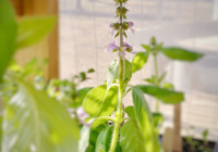 Holy basil seedling growing at Twin Creeks Farm