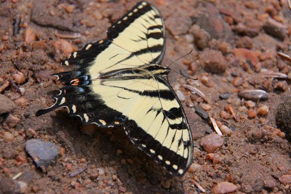 FosterFalls_butterfly